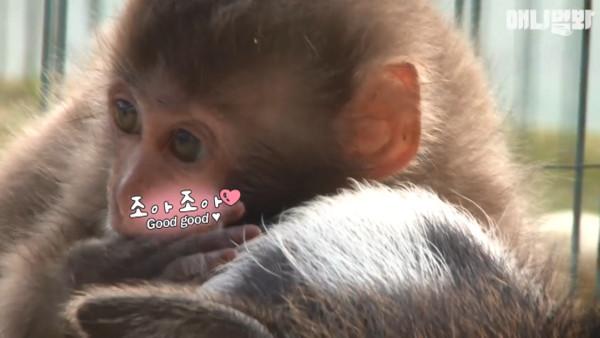 ▲猴子把豬當媽 黏踢踢「躺背上」:到天涯海角我都願意(圖/翻攝自SBS TV동물농장x애니멀봐臉書粉頁)