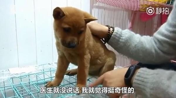 ▲3萬買柴犬變小土狗!貴州男退錢遭拒 寵物店:狗媽是柴犬啊。(圖/翻攝自秒拍「看看新聞」)