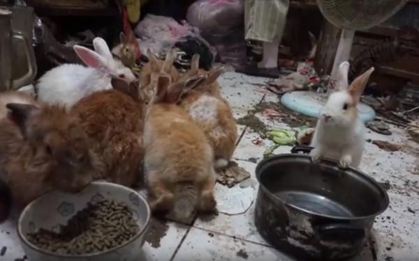 ▲失能飼主放任2兔任意大量繁殖。(圖╱台灣愛兔協會提供)