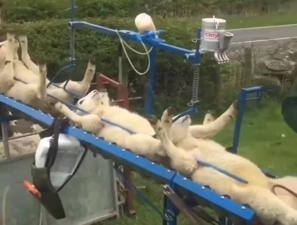 ▲好緊張喔!羊咩咩「舉手眼神死」排隊打針 滑下那刻網友看N遍。((圖/翻攝自Facebook@Agriculture & Machines Channel)