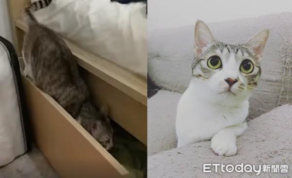 ▲不給牠睡會哭整晚!多拉貓只睡床櫃,「關門神腿」讓網友跪了。(圖/IG@wawa.cutecat提供,請勿隨意翻拍,以免侵權。)