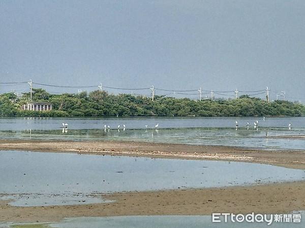 ▲高雄永安濕地水位大降「面臨乾涸」 黑面琵鷺來訪僅8隻。(圖/「拍鳥俱樂部」黃蜀婷授權提供)