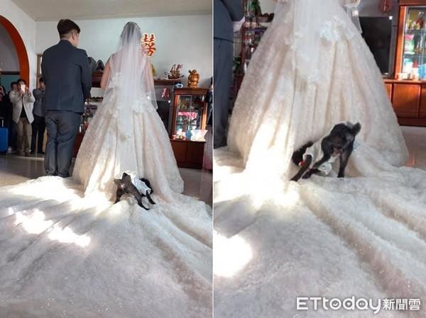 ▲▼新娘拜別父母,毛孩跑來滾婚紗。(圖/網友王拉拉授權提供)