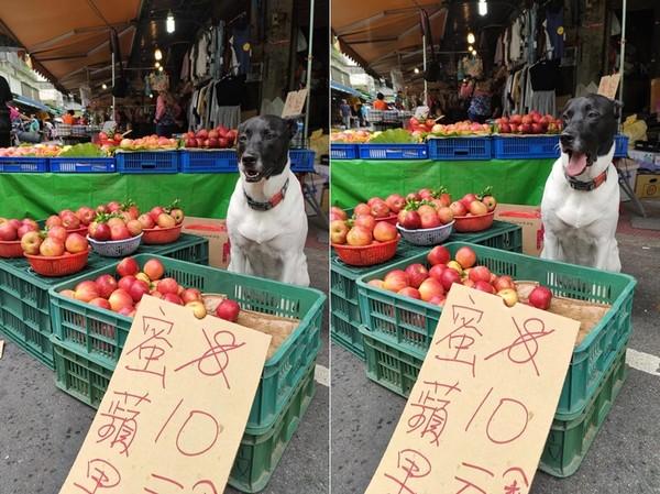 ▲▼黑頭萌汪幫忙賣蘋果顧到打哈欠。(圖/有點毛毛的/網友桔梗花提供)