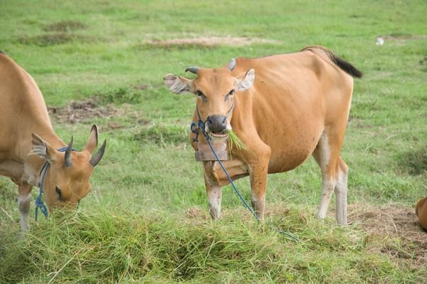 牛隻示意圖。(圖/達志/示意圖)