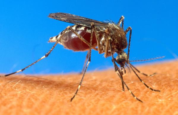 埃及伊蚊(aegypti mosquito/Aedes aegypti)可能傳播切昆貢亞熱病毒。(圖/達志影像/美聯社)